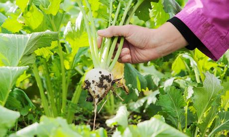女性のための農業インターンシップ イメージ写真(カブ収穫の様子)
