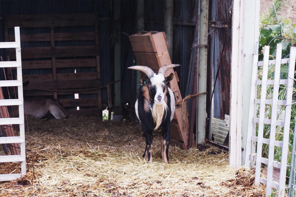 チーズづくりを始めた頃は、素材を知るため飼育にも積極的に参加した。現在も山羊は自ら飼育する。