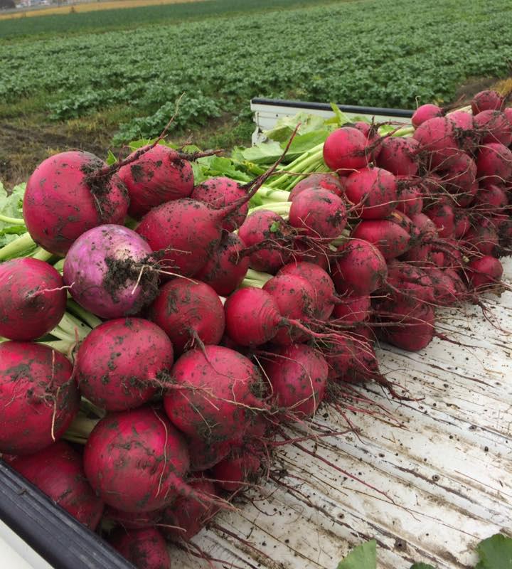 赤かぶらは干して糠漬けにする。