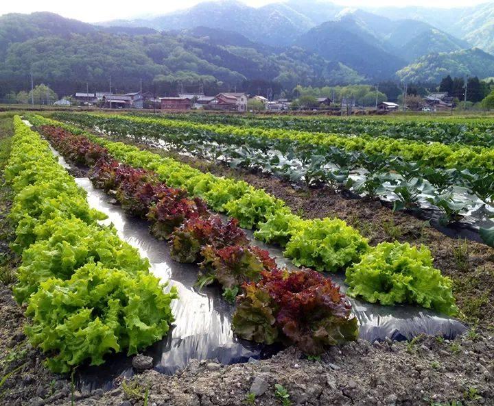 野菜は、レタス、トマト、ズッキーニ、人参、かぼちゃ、まくわうり、他多数を育てる。「農薬化学肥料不使用」の高島市認証を取得。