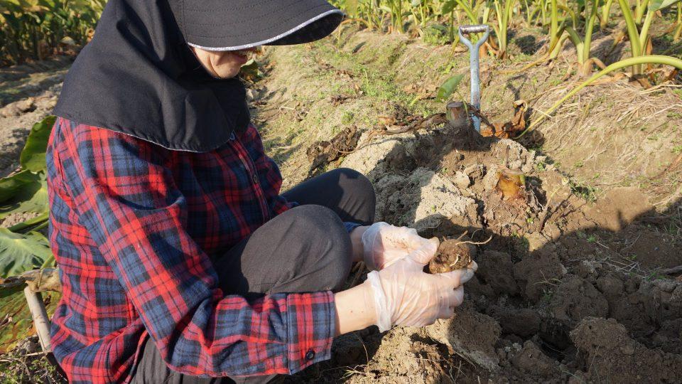 掘り出した芋を分けて土を払って、ようやく商品に近づいてきて少し達成感!