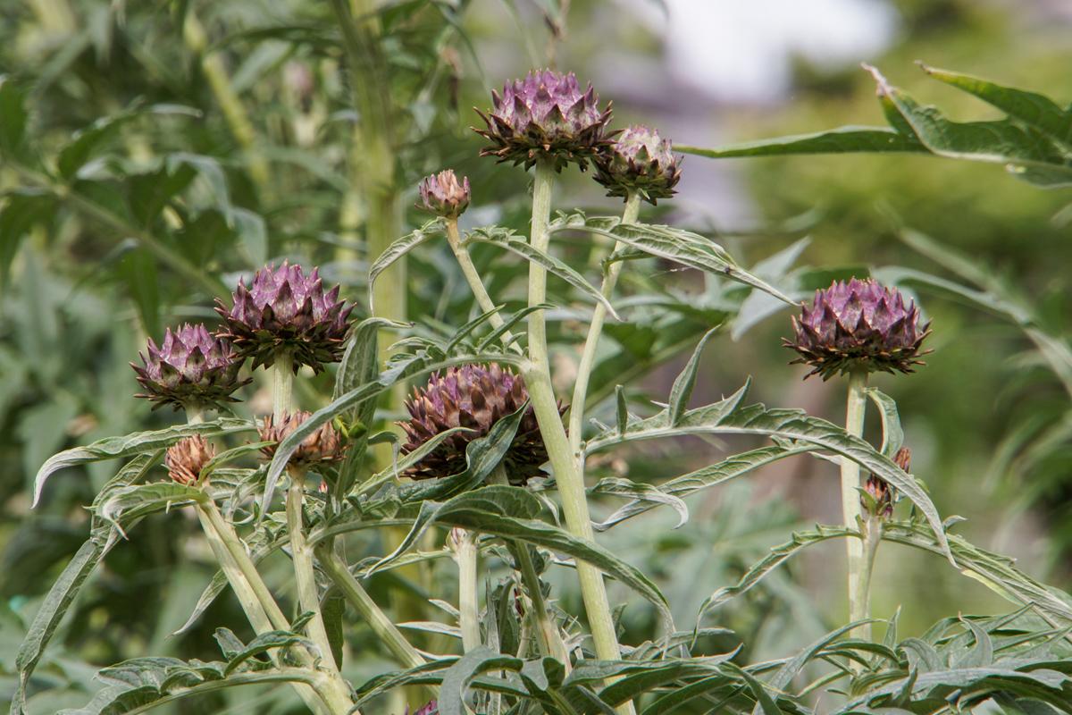 6月下旬のおすすめ野菜はアーティチョークの原種「カルドン」