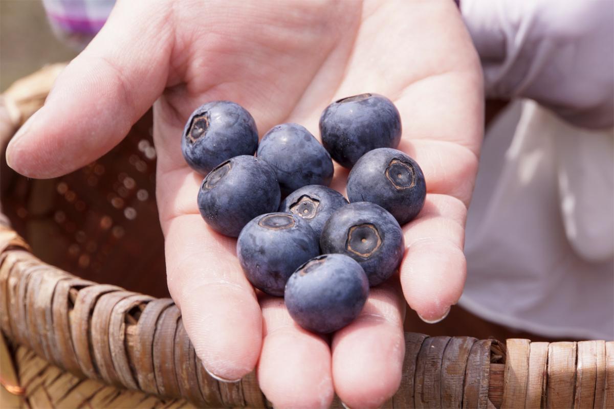 大粒の完熟ブルーベリー